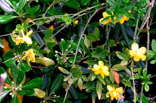 Un jasmin jaune