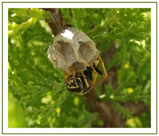 guêpe faisasnt son nid