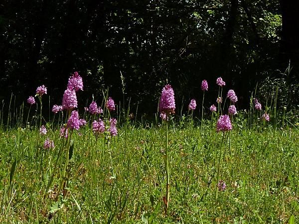 Orchidées pelouse 01