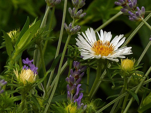 Aster Miracle blanc