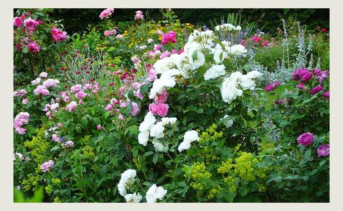 Rêves de roses dans le jardin...