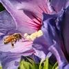 abeille sur fleur d'Althéa
