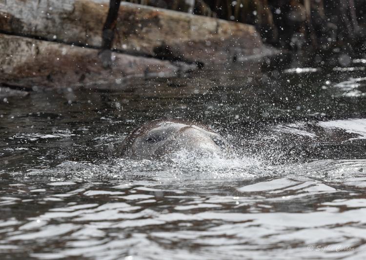 Grytviken... la bataille des éléphants de mer
