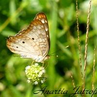 Anartia Jatrophae - Guyane