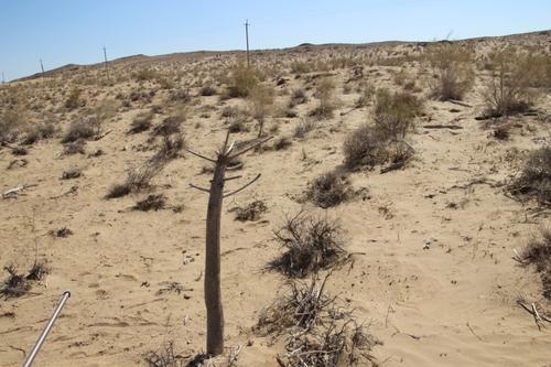Les plantes du désert Kyzyl koum
