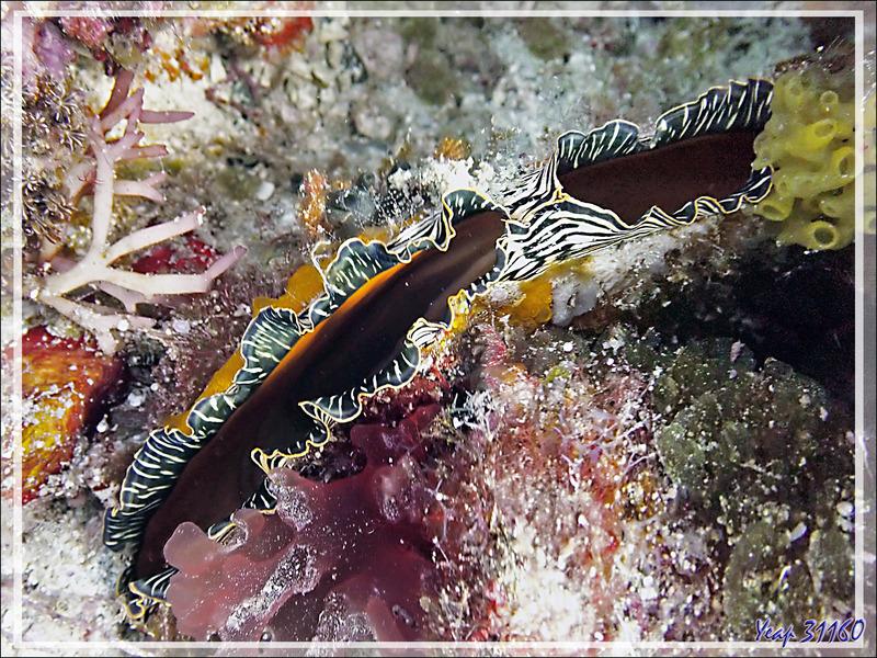 Nacre étendard, Jambonneau noir, Pinne de mer, Flag pen shell (Atrina vexillum) - Beangovo - Tsarabanjina - Mitsio - Madagascar