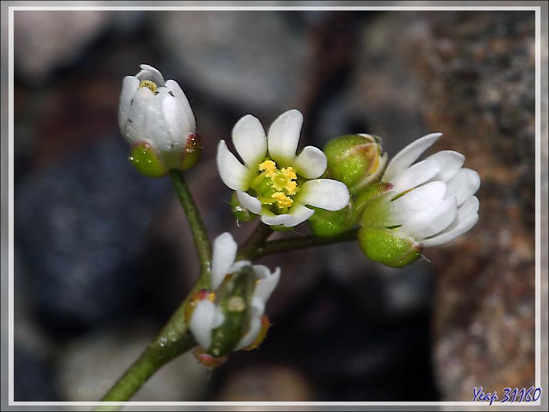 Drave printanière (Draba verna ou Erophila verna) - Lartigau - Milhas - 31