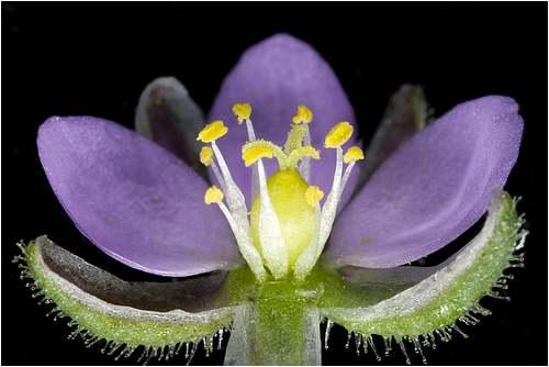 Vertus médicinales des plantes sauvages : Sabline rouge