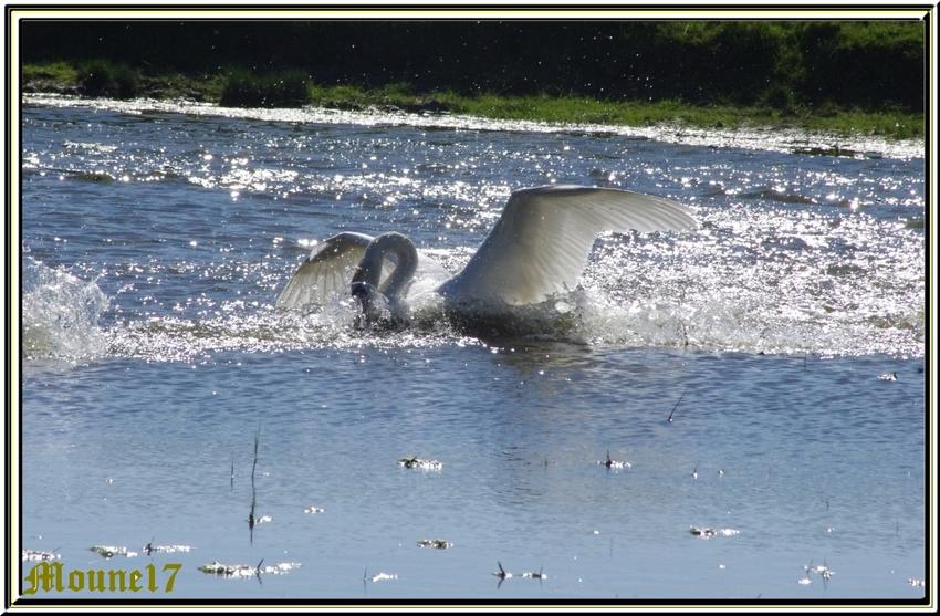 Toujours dans les marais de Brouage: Les cygnes