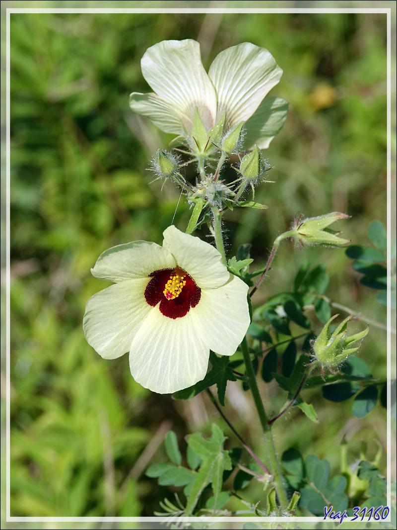 Cotonnier véritable en fleurs (Gossypium herbaceum) - Grande Mitsio - Madagascar