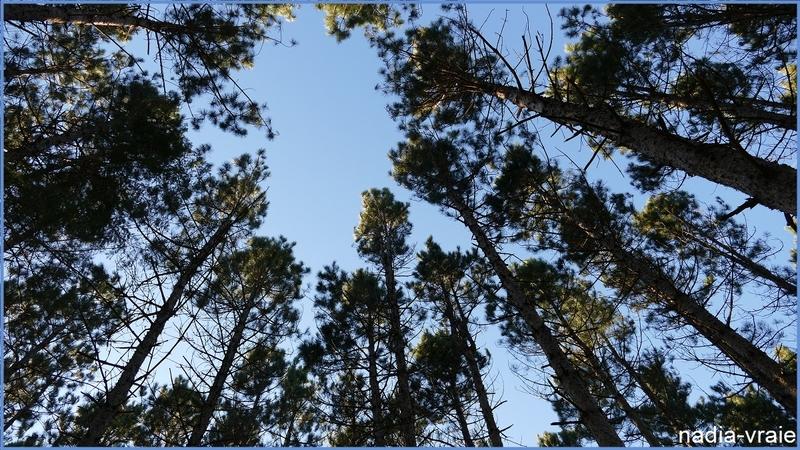 """Pins voulant atteinde le ciel. (""""24 heures photo"""" Défi géré par Patricia)"""