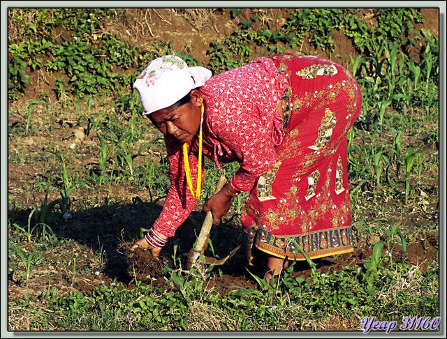 Blog de images-du-pays-des-ours : Images du Pays des Ours (et d'ailleurs ...), Jardinères et le champ de maïs - Lac Phewa - Pokhara - Népal