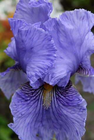 iris Fancy Fellow d'Iris en Provence