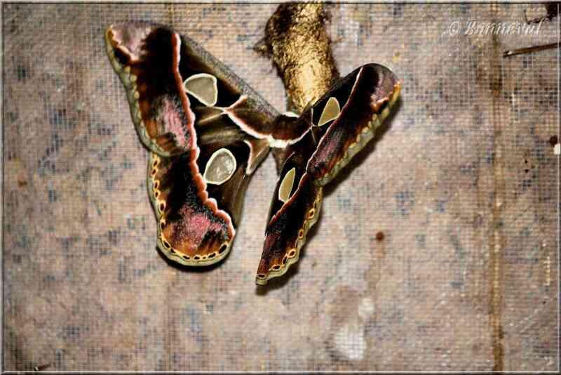 Papillons tropicaux Rothschildia lebeau