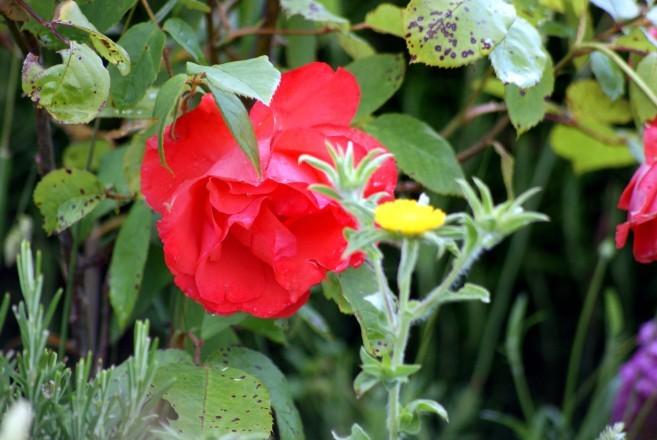 Rose sud 5109