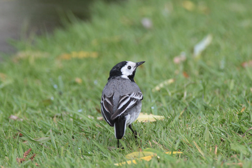 Bergeronnette grise/The White Wagtail