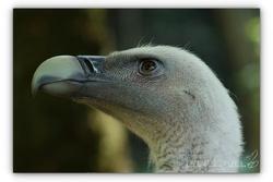 Vautour fauve - Parc des oiseaux