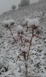 Chardon sous la neige