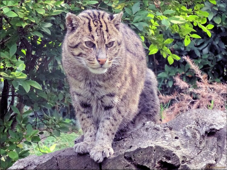 Chat pêcheur du Zoo de Pessac (Gironde)