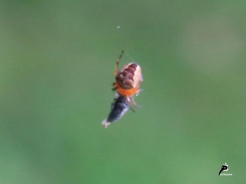 Araneus diadematus juvénile