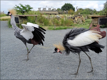 Photo de Grue couronnée Zoo de la Boissière du Doré