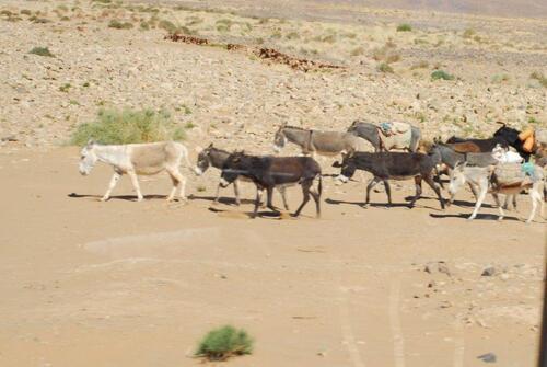 Un troupeau d'ânes pris à la sauvette