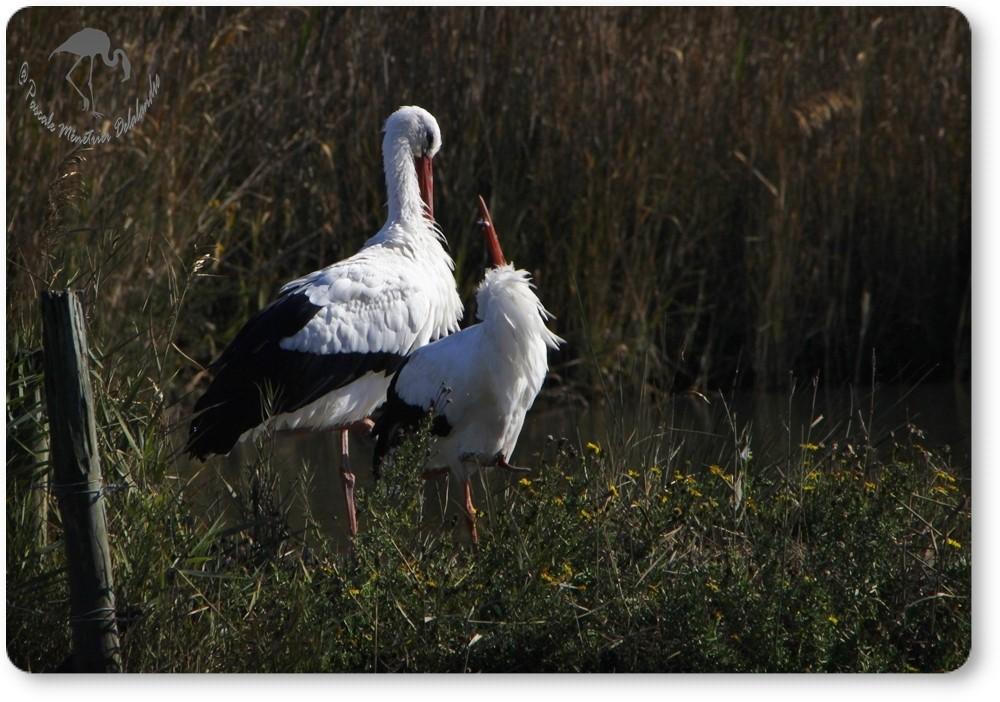 Couple de cigognes blanches...