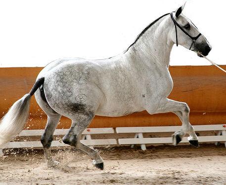 File:Pure race espagnole gris au galop à Valence.jpg
