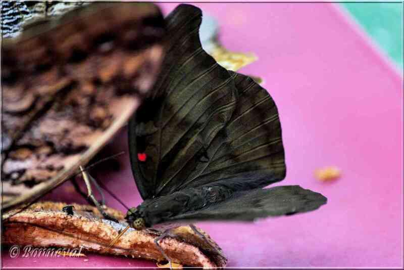 Papillons tropicaux Dphla evelina derma