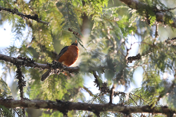 American Robin, Mount Rainier