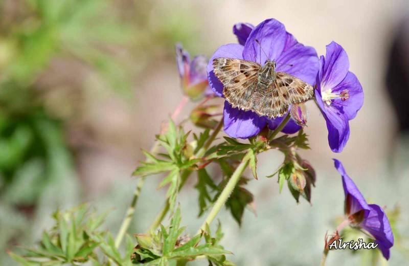 Hespérie du marrube sur fleur mauve