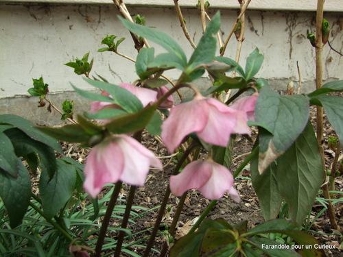 Hellébores en fleurs