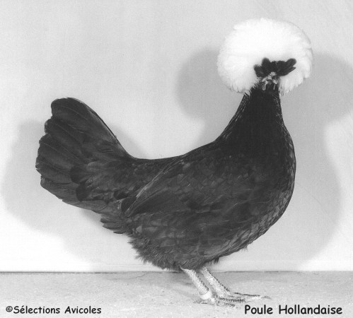 Poule-Hollandaise-copie-1.jpg