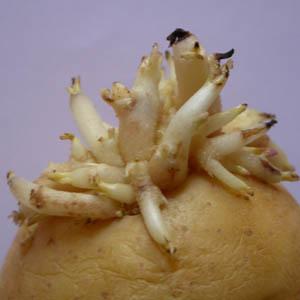 Moi, Aglaé j'ai peur des germes de pomme de terre