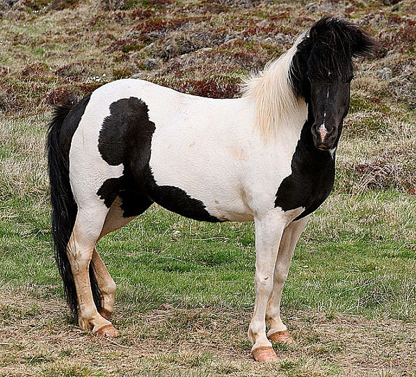 663px-Beautiful black and white horse