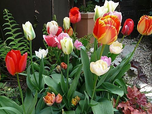 Tulipes-melange--17-04-2010-004.jpg