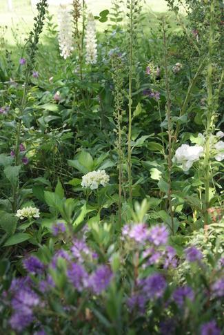 Hydrangea macrophylla blanc : Soeur Thérèse et Mme Emile Mouillère