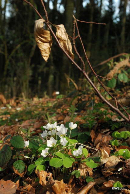 Oxalis petite oseille ou Oxalis des bois (Oxalis-acetosella) Oxalidaceae