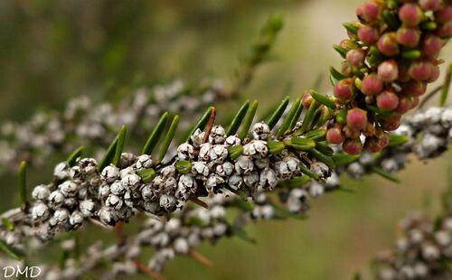 Erica scoparia  -  bruyère à balais - brande