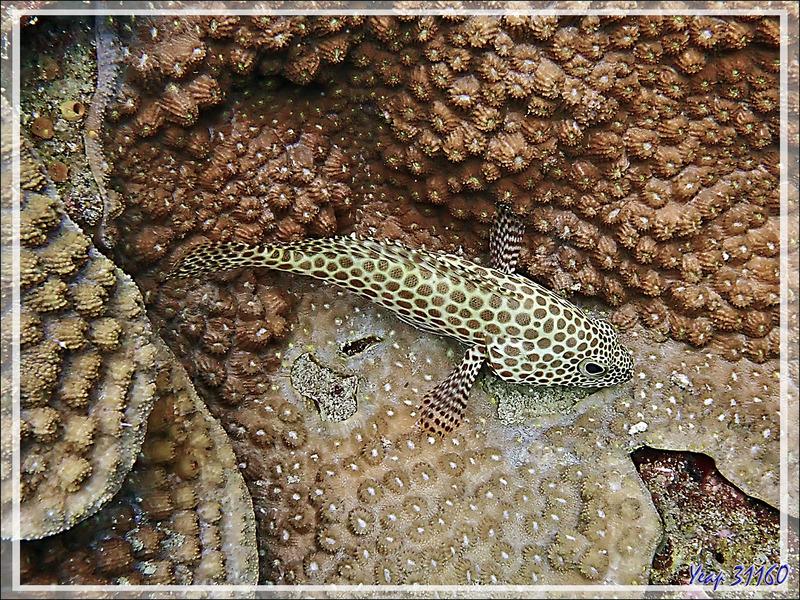Mérou gâteau de cire, Loche rayon de miel, Honeycomb grouper (Epinephelus merra) - Les Tétons - Nosy Tsarabanjina - Nosy Mitsio - Madagascar