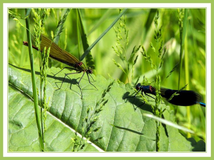 Les deux libellules