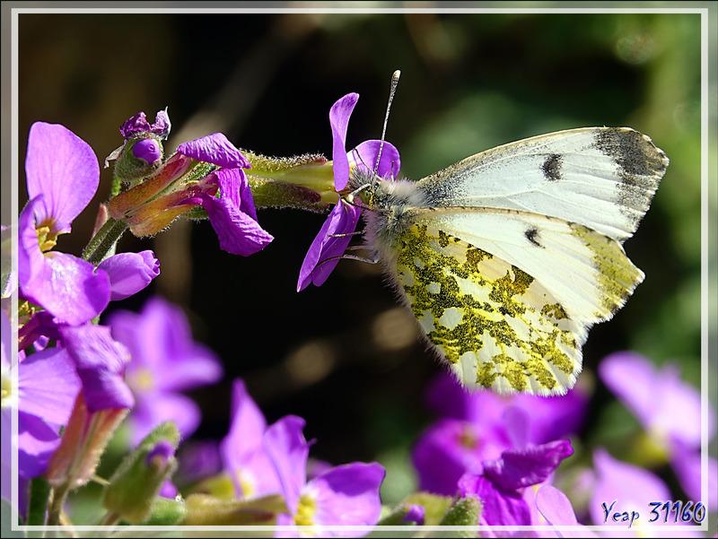 Papillon Aurore (Anthocharis cardamines) femelle - Milhas - 31