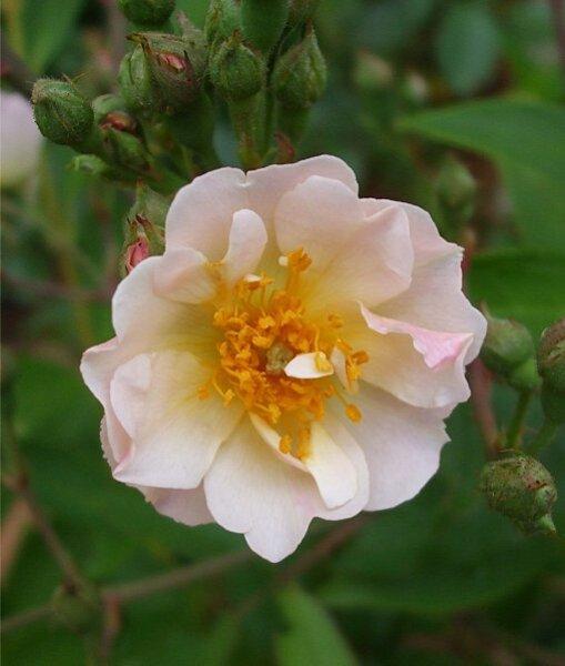 rose-liane-0906.jpg
