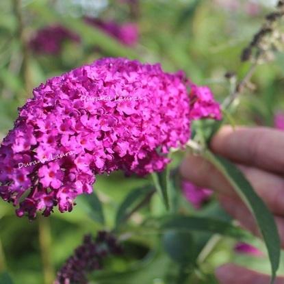 Arbre à papillons ou Buddleia
