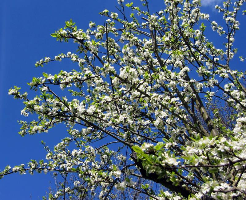 fruitiers en fleurs