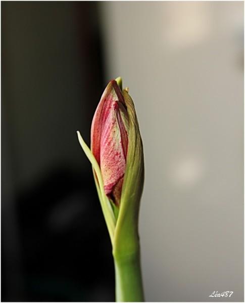 fleurs-3 0737 Amaryllis