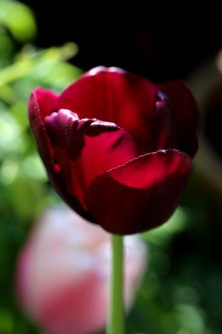 Tulipes 2017 : Black Jack