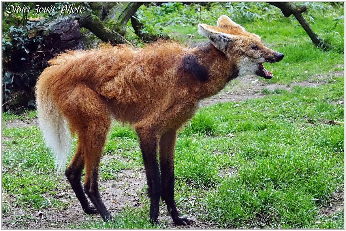 Loup à Crinière (1) - Chrysocyon brachyurus