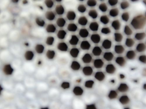 frelon asiatique de la larve au frelon
