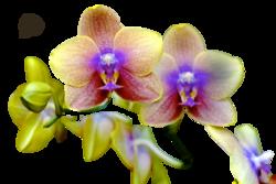 Tube Orchidée arc-en-ciel